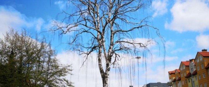 Świnoujście. Mieszkaniec: dziękuje za usunięcie niebezpiecznego drzewa.