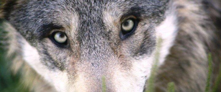 Wilk widziany w Świnoujściu.