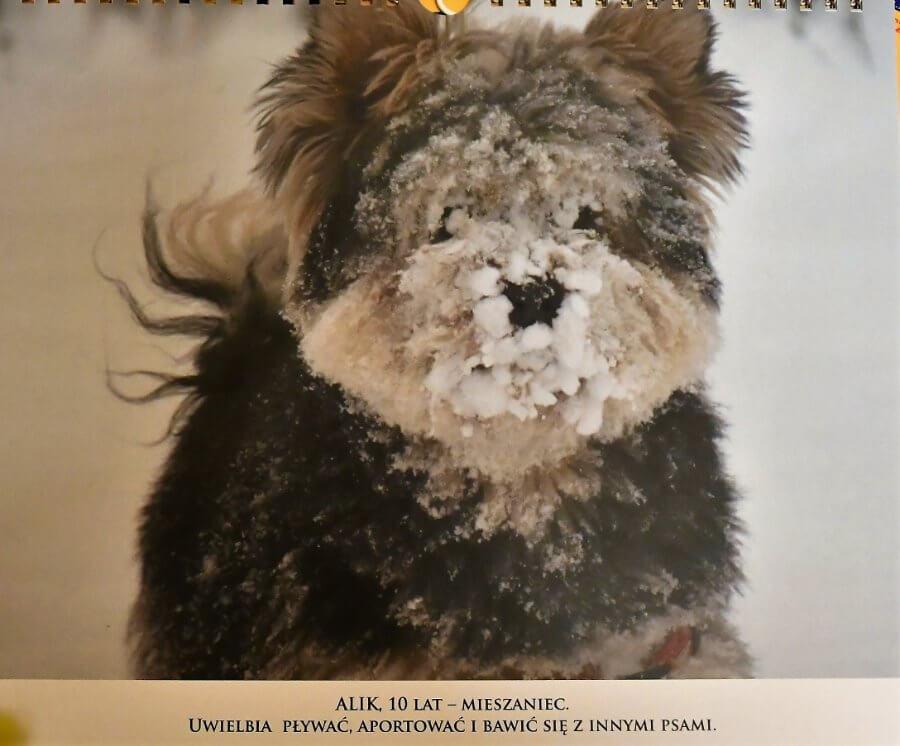 Psy i koty świnoujścian w specjalny kalendarzu. Po wystawie.