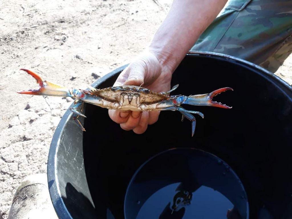 Z jeziora Dąbie wyłowiono kraba, który pochodzi z Oceanu Atlantyckiego