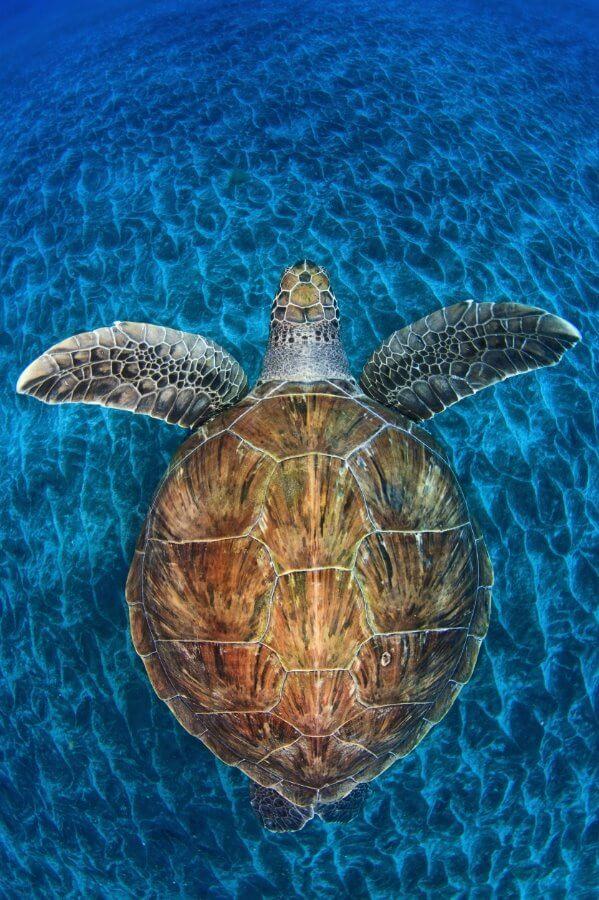 Żółwi klejnot, Jordi Chias (Hiszpania)