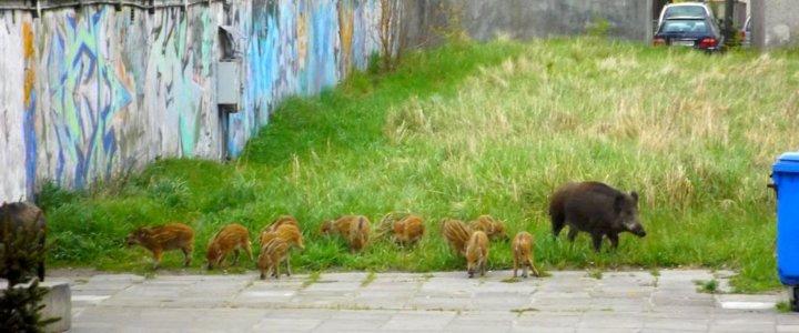 Dziki na Warszowie