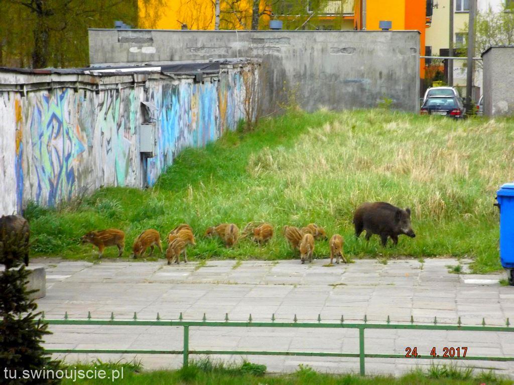 Dziki opanowały dzielnicę Warszów