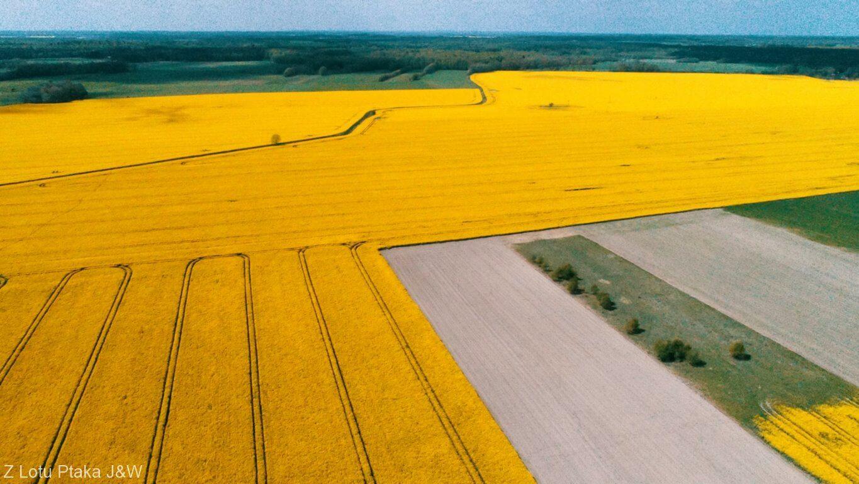 Zachodniopomorskie. Żółte pola rzepaku we wsi Ościęcin niedaleko Gryfic.