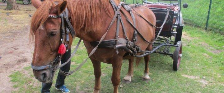 Powożąca próbowała uciec. Miasto zajęło konia.